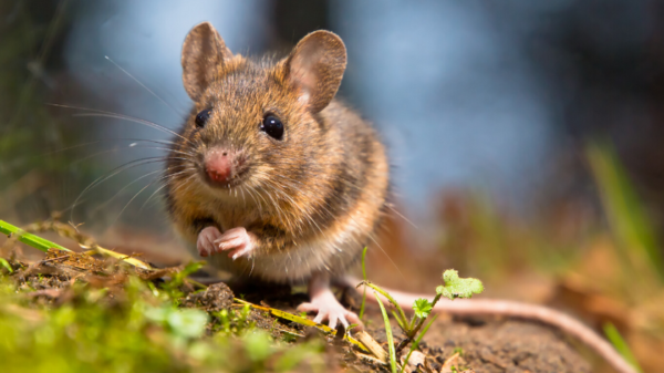 Identify a mouse
