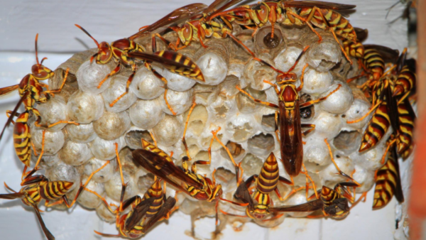 Paper wasps grow