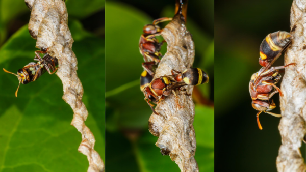 wasps build a nest