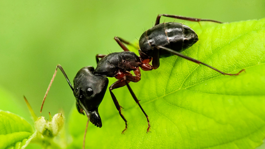 Signs of carpenter ants